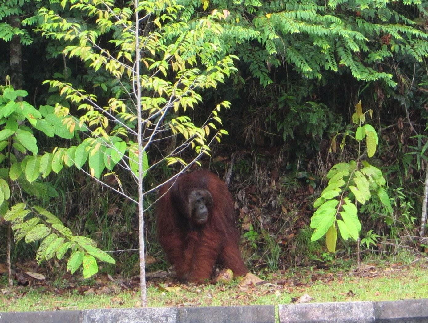 /images/Orangutan.jpg