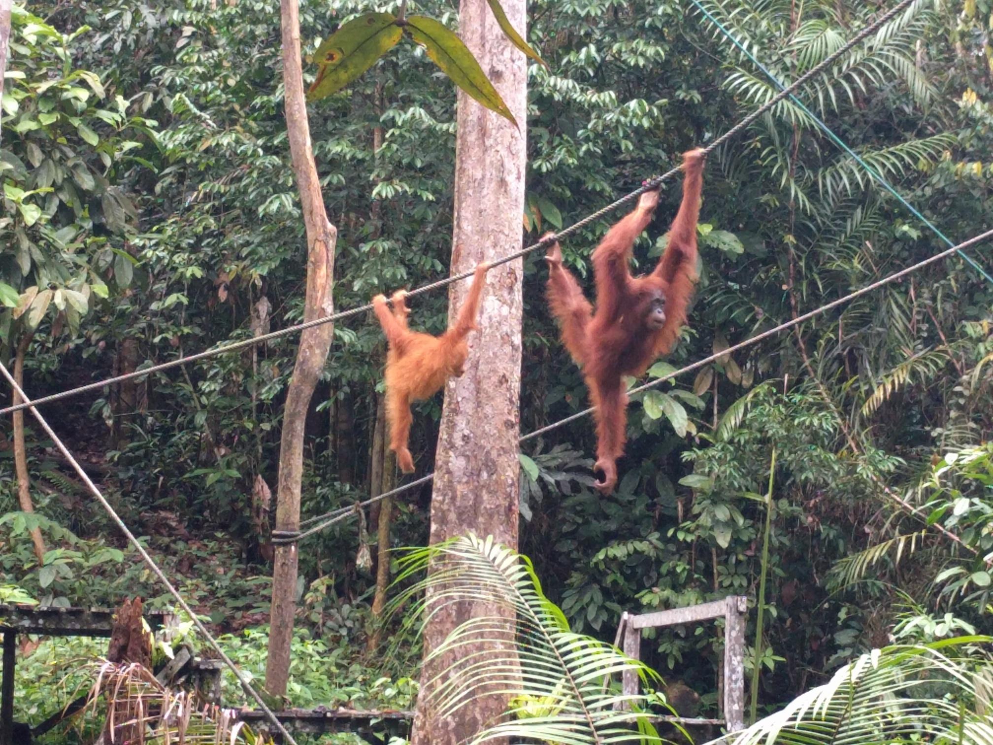 /images/Orangutan2.jpg