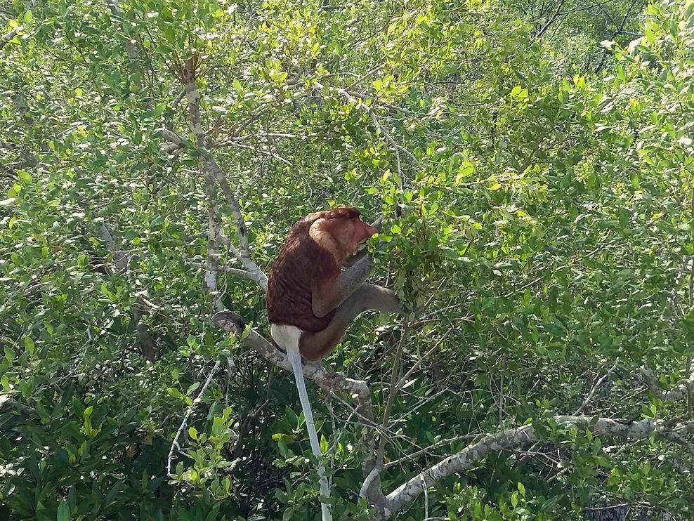 /images/Proboscis-Monkey.jpg