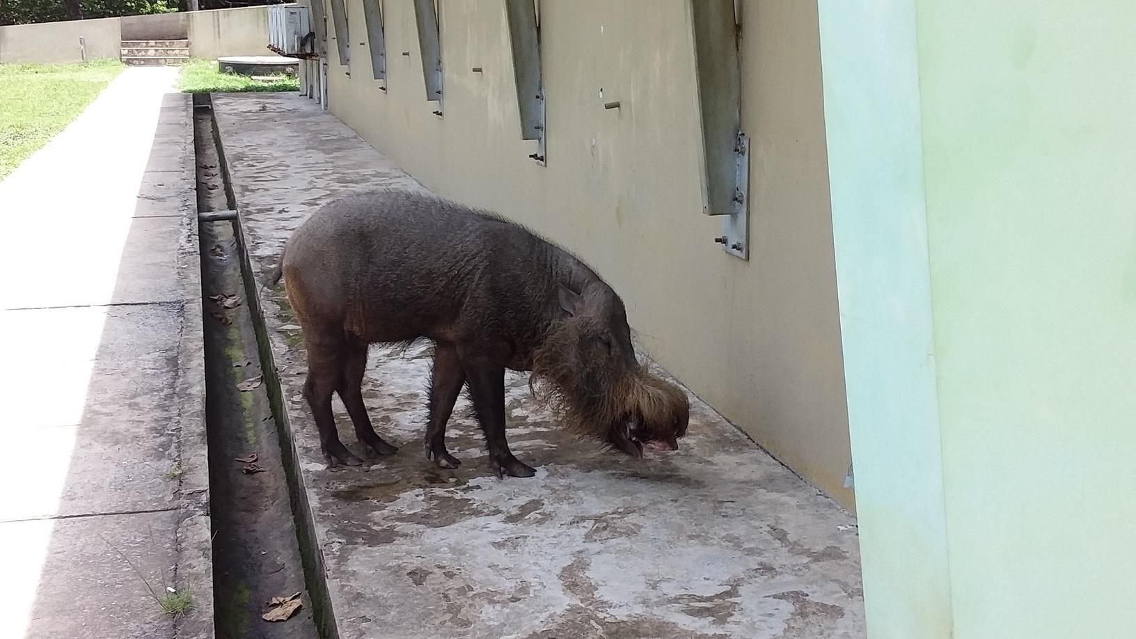 /images/Wild-Pig.jpg