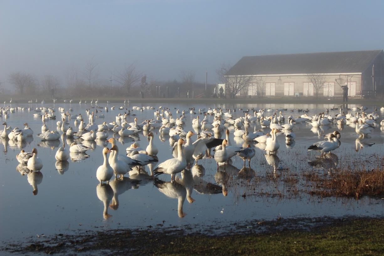 /images/geese.jpg